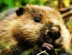 По праву ли бобры считаются главными лесными гидростроителями?