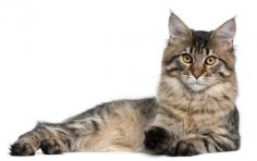 Мейн-кун. Почему эти кошки так популярны?