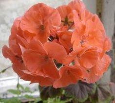 Как вырастить пеларгонию из семян?