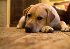 Как прощается собака?