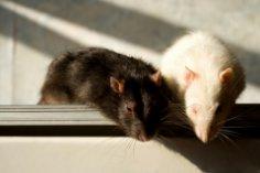 Почему крысы не явились в суд?