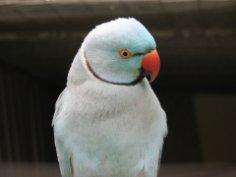 Что нужно знать, покупая кольчатого попугая?