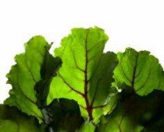 Чем хороша листовая свекла и как её выращивать?