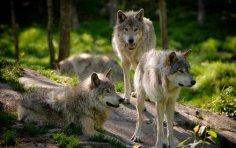 Существует ли свой язык у волков?