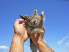 Заяц: лесной трусишка или секс-символ?