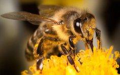 Сколько живет пчела?