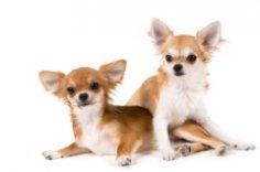 Чихуахуа – инопланетяне? Легенды и мифы об удивительной породе собак