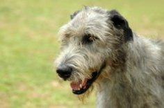 Вы знакомы с гигантом собачьего мира?