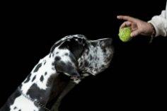 Знаете ли вы собаку окраса «перепелиные яйца»? Я знаю!