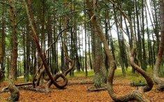 Какие причины заставляют лес «танцевать»?