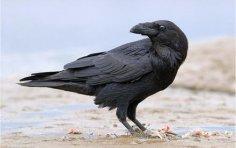 Насколько умны городские и сельские вороны и что они едят?