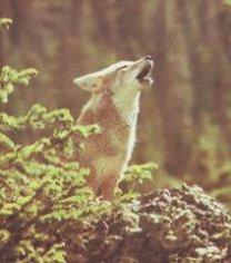 Стоит ли презирать койотов и шакалов?