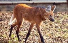 Так ли уж страшны красные волки и гиеновые собаки, как их малюют?