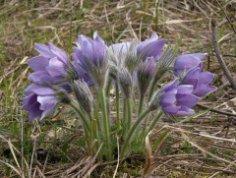 Что такое сон-трава? Пушистое чудо весны