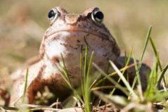 Почему все реже слышны песни лягушек?