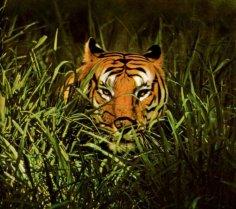 Тигр. Кого Уильям Блейк назвал «жгучим страхом ночного леса»?