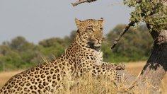 Почему леопардов боятся больше, чем львов и тигров?