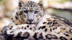 Снежный барс. Кого в Средней Азии называют «драгоценным бриллиантом в оправе гор»?