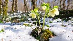 Морозник. Что украсит сад почти круглый год?