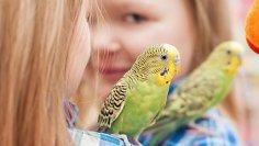 Волнистый попугай. Как отличить самца от самки?