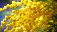 Золотая акация. Почему она стала цветочным символом Австралии?