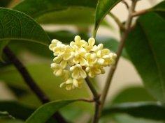 Османтус: как вырастить цветок c дивным ароматом?