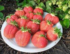 Как получить хороший урожай клубники?