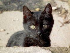 За что не любят чёрную кошку?