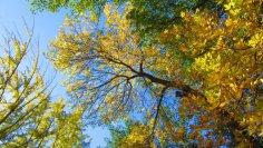 Почему ясень - священное дерево?