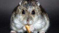 Чем необходимо кормить хомячка?