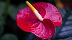 Антуриум - цветок для мужчин. Чем он покоряет сердца цветоводов?