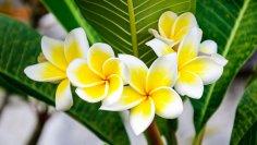 Как вырастить плюмерию - буддийский символ бессмертия и любимый цветок Кришны?