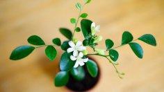 Муррайя - дерево  японских императоров. Чем оно покоряет людей?