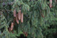 Чем интересна ель? Удивительные факты о привычном дереве