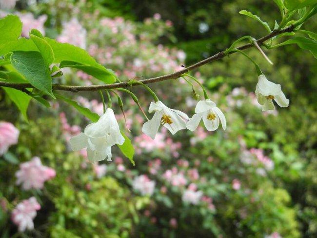 Галезия. Как вырастить ландышевое дерево?