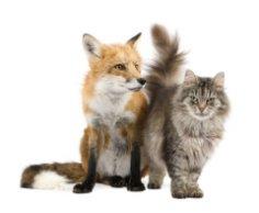 Куда подевались бухарские кошки и откуда взялись сибирские?