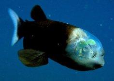 У какой рыбы голова прозрачная?