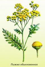 Пижма обыкновенная, или Кто защитит сад от вредителей, нас от паразитов, да еще и болезни вылечит?
